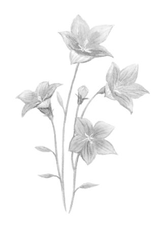 Monochrome Illustration of Bellflower.
