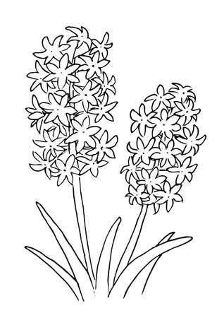Hyacinth Line Art