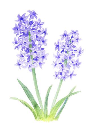 Watercolor illustration of hyacinth