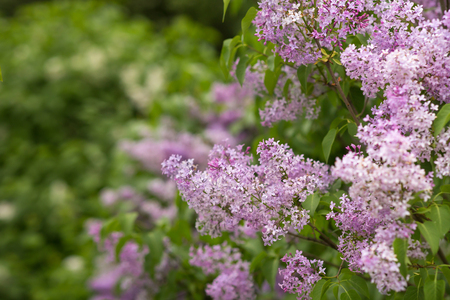 Close-up beautiful lilac flowers with the leaves. Beauty world. Imagens