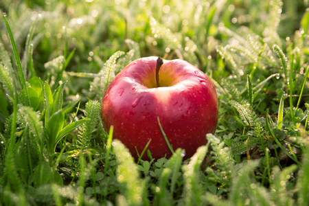 Fallen fresh red apple in the grass
