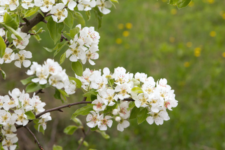 beautiful flowers on the pear tree in nature