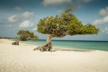 aruba: Divi divi trees on Eagle beach - Aruba island