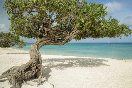 Divi divi trees on Eagle beach - Aruba island