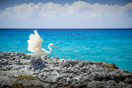 caribbeans: White heron bird at the sea in Cozumel, Mexico