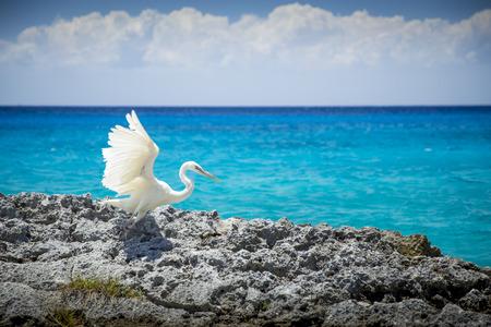 White heron bird at the sea in Cozumel, Mexico