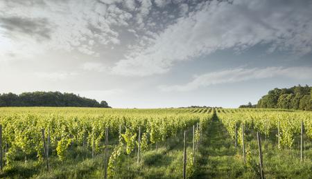 bordeaux region: Vineyard in France in Bordeaux region Stock Photo
