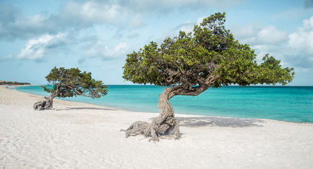 Eagle beach with divi divi trees on Aruba island Фото со стока - 75724149