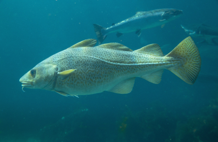Baltic cod fish in Atlantic Sea Park in Alesund, Norway
