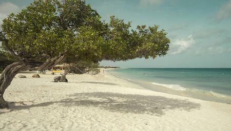 Divi divi tree on Eagle Beach on Aruba island