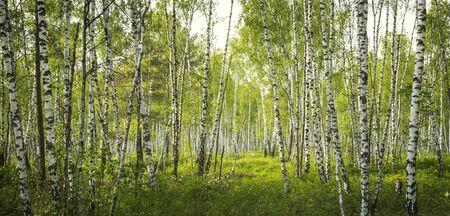Birch tree forest in Biebrza National Park, Poland