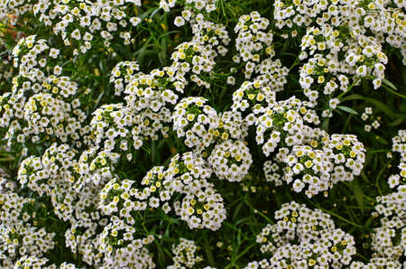 Close up of Lobularia maritima flowers (syn. Alyssum maritimum, common name sweet alyssum or sweet alison), a plant typically used as groundcover.