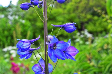 Close up of a delphinium elatum flower in bloom. Purple blue flowers of Larkspur 'Pagan Purples' (Delphinium elatum Hybrid, Alpine Delphinium) perennial. Stock Photo
