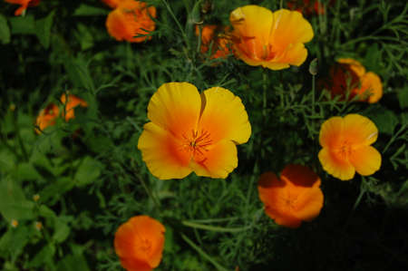 Beautiful yellow flower Eschscholzia on a green blurred background of grass, flower leaves