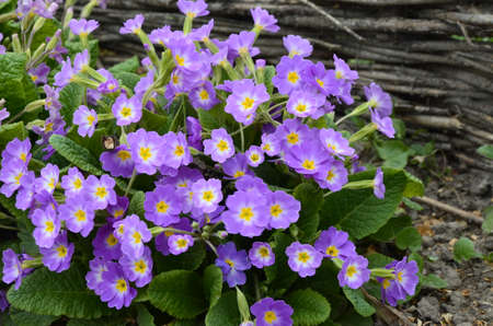 pretty primula, primrose flowers, one of the first flowers in spring 写真素材
