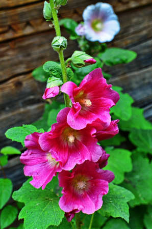 Hollyhock beautiful plant of a summer garden.