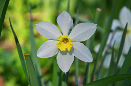 Lonely white daffodil among green grass on blurred background 写真素材