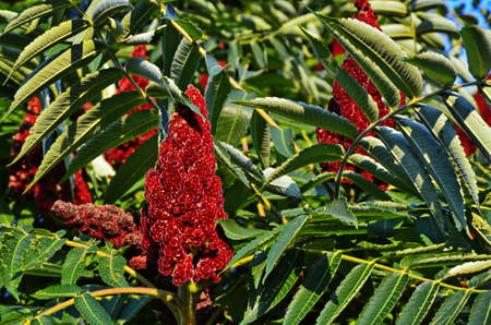 Green leaves and red inflorescences of the seeds of sumac deer or sumac fluffy or vinegar tree (lat. Rhus typhina).