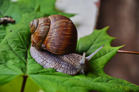 Snail lead. Burgundy snail (spiral, Roman snail, edible snail, escargot) on the surface with plants and moss.