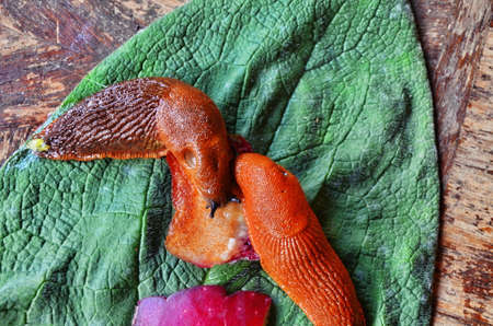 Red slug (Arion vulgaris Moquin-TandonCause) of the most damage in garden. Agricultural pest. 写真素材