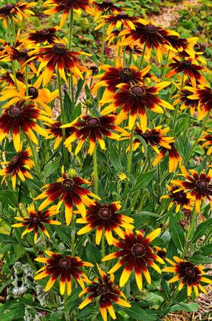 Rudbekia flowers of different species and varieties.