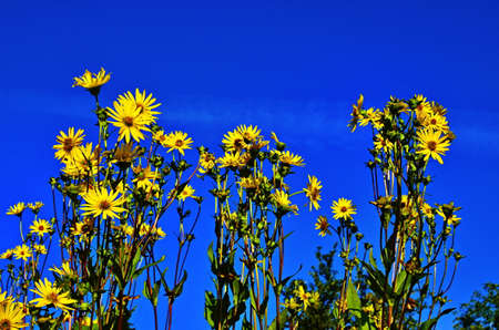 Silphium perfoliatum, the cup plant or cup-plant, is a species of flowering plant in the family Asteraceae, energy crop, silage, biomass