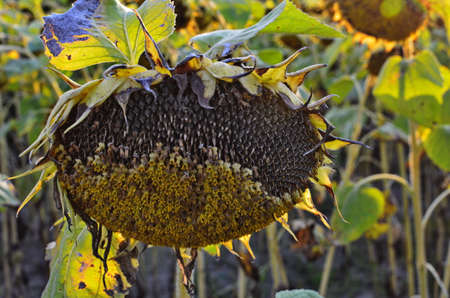 Field of ripe sunflowers on background of blue sky.An image with shallow depth of field.