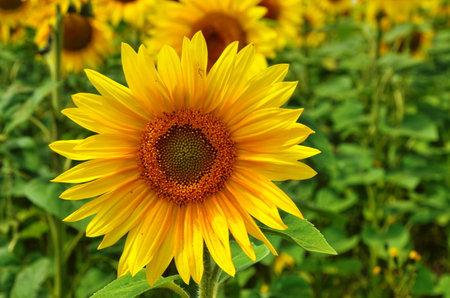 Sunflower natural background. Sunflower blooming. Close-up of sunflower. Stok Fotoğraf