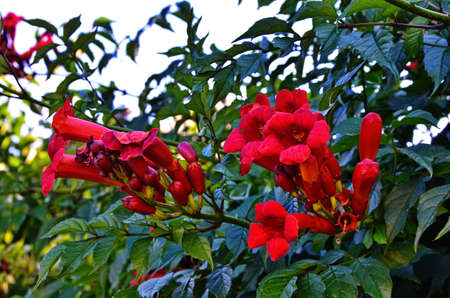 Cluster of campsis orange, trumpet-shaped flowers against their dense, dark green foliage. Tecoma orange, trumpet-shaped flowers against dark green leaves.