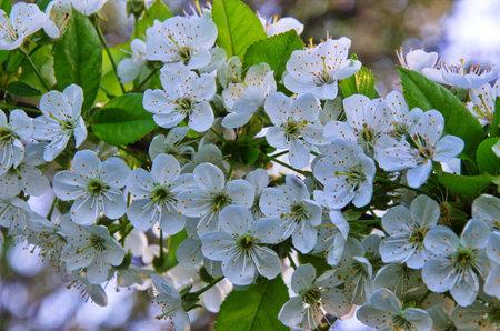 Blooming white cherry flowers of the sweet cherry (Prunus avium, wild cherry, gean, bird cherry) .. Spring blossom.