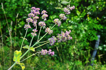 Salvia verticillata - purple flowers in the medicinal and herbal garden.