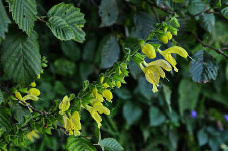 Sticky sage, Jupiter's sage, Salvia glutinosa, erect perennial herb with glandular tomentose leaves and yellow 3-5 cm long flowers in clusters,