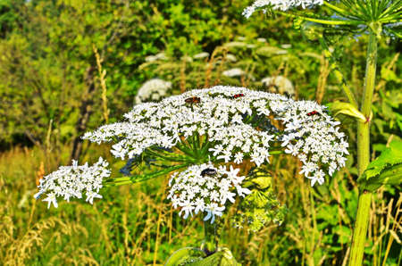 Harmful plant cow parsnip. The flower of cow parsnip. Large white inflorescences of cow parsnip close-up. Large flowers of cow parsnip at close range.
