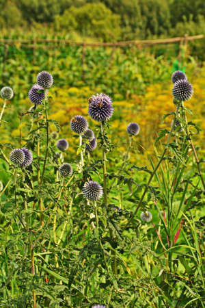 Echinops ritro L, Globe thistle, Small globe thistle.Echinops flowers in the garden.Blue balls flowers of Echinops ritro known as southern globethistle in Ukraine