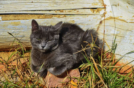 Cute gray cat sitting on a wooden bench outdoors .A gray cat sits on a wooden bench near the house.Three-color beautiful cat.