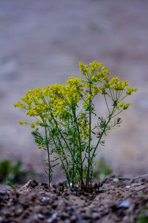 flower cypress spurge (Euphorbia Cyparissias) on meadow. Euphorbia cyparissias, the Cypress spurge, is a species of flowering plant in the Euphorbiaceae family Stock Photo