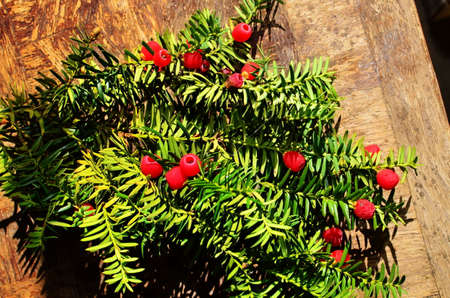 Taxus baccata closeup. Conifer needles and fruits. Green branches of yew tree with red berries