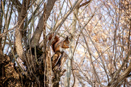 Squirrel on the branch eats nuts. A beautiful fluffy animal.