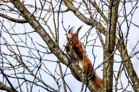 Cute young red squirrel in a natural park collects leaves and tree cap to build a nest. Stock Photo