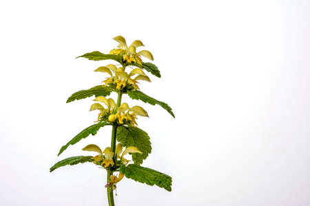 Yellow archangel mint (Lamiastrum galeobdolon), also called yellow lamium - a highly invasive alien plant from Europe isolated on a white background.