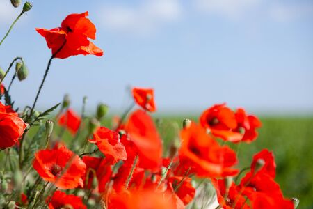 Beautiful summer field of red blooming poppies flowers or papaver rhoeas poppy in the sunset light. Concept scenery landscape in Russia, Crimea