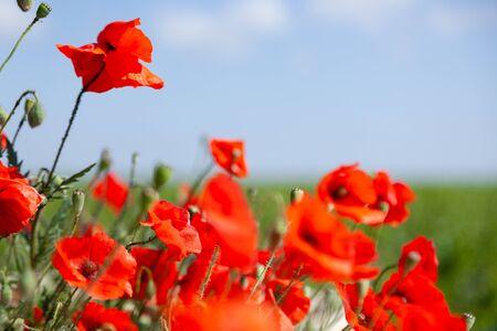Schönes Sommerfeld mit roten blühenden Mohnblumen oder Papaver Rhoeas Mohn im Abendlicht. Konzeptlandschaftslandschaft in Russland, Krim
