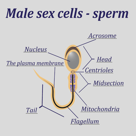 nude male: Diagram of the male sex cells - sperm.