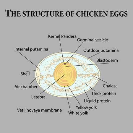 incubation: The structure of chicken eggs. Vector illustration. Illustration