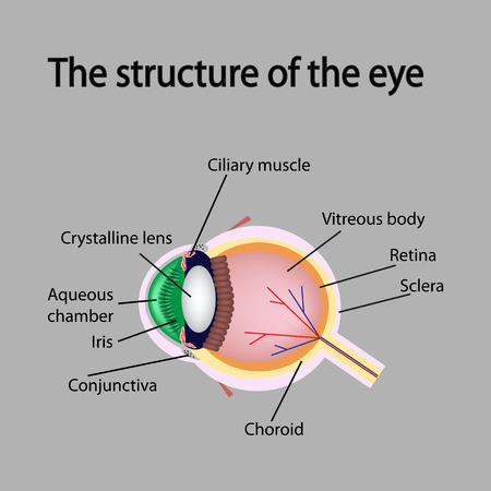 vitreous body: The structure of the eye. Poster scheme.