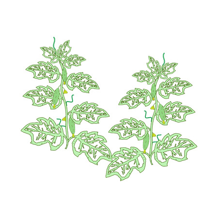 cucumbers: Cucumber plants with leaves, flowers and cucumbers drawn by hand. Illustration