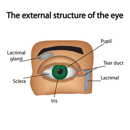 lacrimal: The external structure of the eye. Vector illustration.