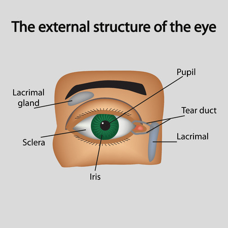 eye drawing: The external structure of the eye. Vector illustration.