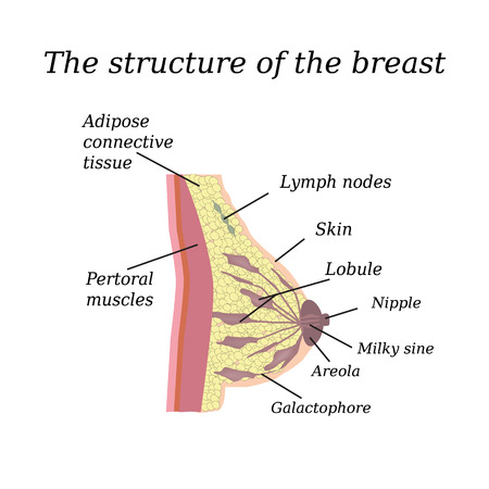 breast nipple: The anatomical structure of the breast. On isolated background. Mammary gland. Illustration