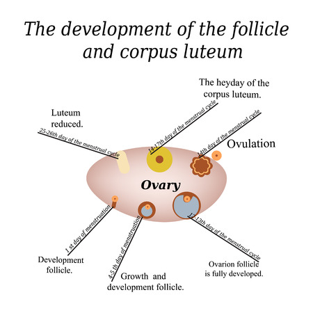 It shows the development of ovarian follicle and corpus luteum. Vector illustration on isolated background. Illustration